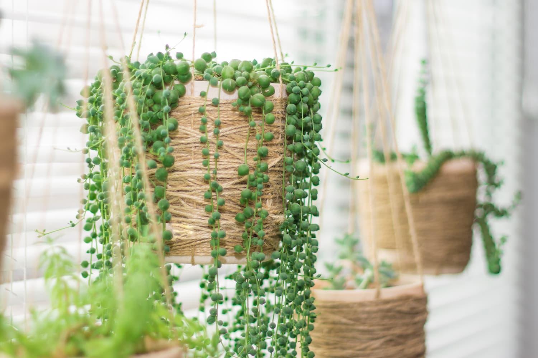 plantes retombantes